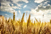 Ripe ears of wheat under the blue sky — Stock Photo