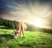 Beautiful beige cow on mountain pasture — Stock Photo