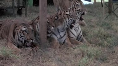 Tigers performing in circus — Stock Video