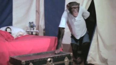 Monkey sneaking into circus tent — Stock Video