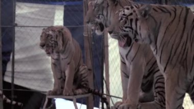 Ringmaster performing with tiger — Stock Video