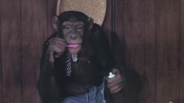 Monkey brushing his teeth — Stock Video