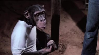 Monkey shaking hands with woman — Stock Video