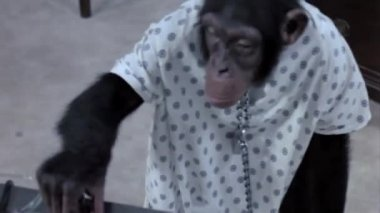 Monkey unlocking himself from chain — Stock Video