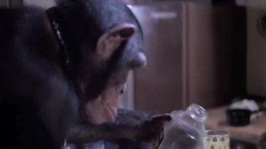 Monkey pouring and drinking juice — Stock Video