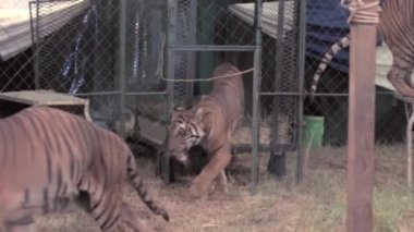 Tigers performing with ringmaster — Stock Video