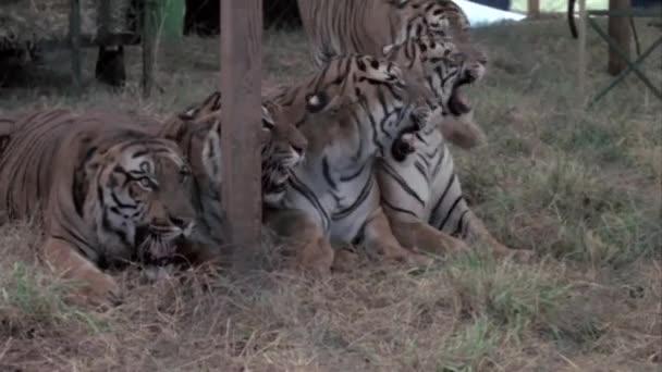 Tigres de circo — Vídeo de stock