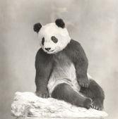 Dev panda rahatlatıcı — Stok fotoğraf