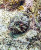 Stonefish — Stock Photo