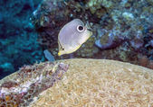 Four-eyed Butterflyfish (Chaetodon capistratus)  — Stock Photo