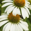 Echinacea purpurea — Stock Photo #52081635