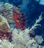 Stoplight parrotfish (Sparisoma viride)  — Stock Photo