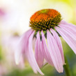 Echinacea purpurea — Stock Photo #52205517