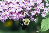 Bumblebee, also written bumble bee — Stock Photo