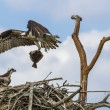 Osprey (Pandion haliaetus) — Stock Photo #52537571