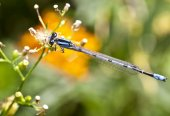 Northern Bluet (Enallagma cyathigerum) — Foto de Stock