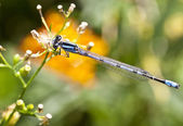 Northern Bluet (Enallagma cyathigerum) — Stok fotoğraf