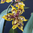 odontocidium wildcat — Stockfoto #52748739