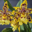 Odontocidium Wildcat  — Stockfoto #52748751