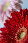 Barberton daisy(Gerbera jamesonii)  — Stock Photo
