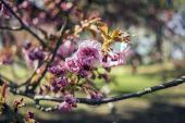 Japanese Cherry — Stock Photo