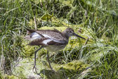 Willet (Tringa semipalmata) — Stock Photo