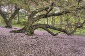 Prunus serrulata or Japanese Cherry — Stock Photo