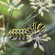 Monarchn Caterpillar, larval, Lepidoptera — Stock Photo #57891249