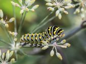 Monarchn Caterpillar, larval, Lepidoptera — Photo