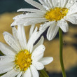 Two Daisy — Stock Photo #62526697