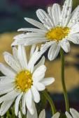 Two Daisy — Stock Photo
