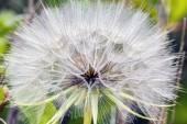 Taraxacum officinale, common dandelion,dandelion — Stock Photo