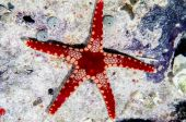 Peppermint starfish — Stock Photo