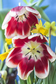 The tulip is  flowers in the genus Tulipa, — Stock Photo