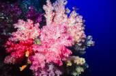 Soft corals in Fiji — Stock Photo