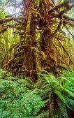 Northwestern rainforest — Stock Photo