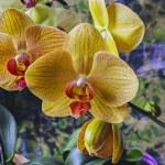 Постер, плакат: Phalaenopsis orchid