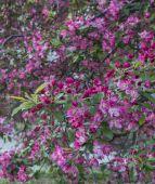 Crab Apple Tree - Malus 'Purple Prince' — Stock Photo