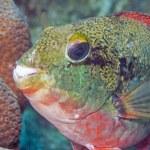Sparisoma aurofrenatum, common names the redband parrotfish — Stock Photo #74497653