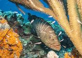 Tiger grouper (Mycteroperca tigris) — Stock Photo