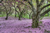 Japanese Cherry spring in Central Park — Stock Photo