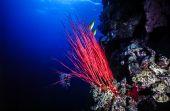 Long Sea whip, Ellisella elongata — Stock Photo