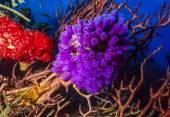 Purple tunicates — Stock Photo