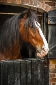 Cavallo closeup — Foto Stock
