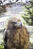 орел соколиной охоты — Стоковое фото