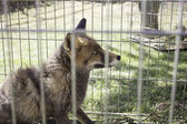 Caged fox — Stock Photo