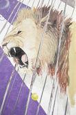 Lev v cirkuse — Stock fotografie