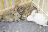 Kudde boerderij konijnen — Stockfoto