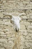 Animal Skull Goat — Stock Photo