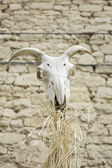 Animal Skull Goat — Stock fotografie